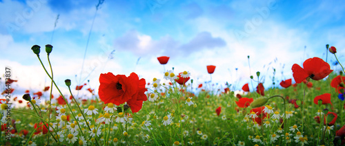 Beautiful poppy and daisies field . Summer background. - 246473837