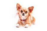 chihuahua (3 years old) lying in front against white background.