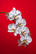 Orchid. A branch of white orchid on a red background. Inflorescence. Bouquet