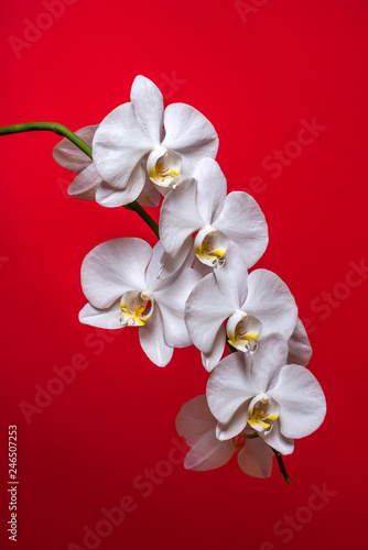 Orchid. A branch of white orchid on a red background. Inflorescence. Bouquet - 246507253