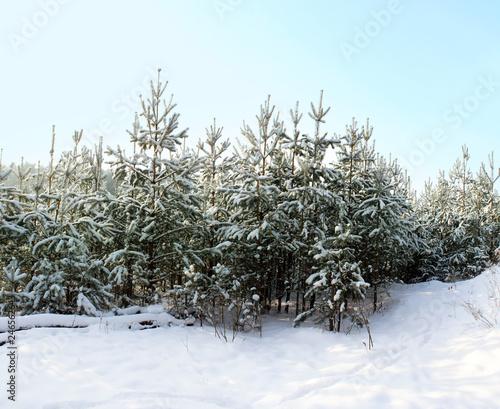 Leinwandbild Motiv Winter forest on the background of white snow frosty morning.