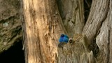Pretty indigo bunting blue bird of North America in mixed pine forest - 246569023