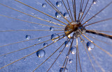 Fototapeta Fototapeta z dmuchawcami - the water drops on a dandelion © photosaint