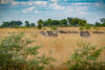 Zebra Herde in der Savanne