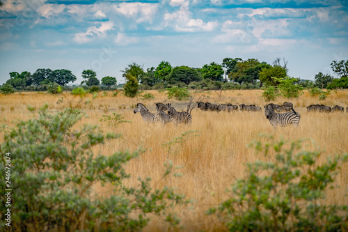Zebra Herde in der Savanne  © Ralf
