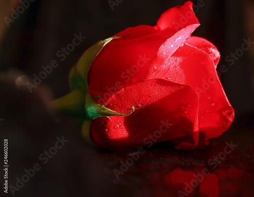 rose - 246602028