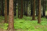 Sequoia redwoods in Hallerbos, Belgium - 246603256