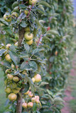 Bunch of ripening apples in a garden