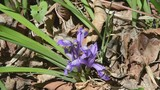 Flower of iris (Iris uniflora) - 246615849