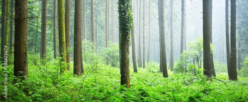 Majestic green pine tree forest, Herford, Germany - 246625674