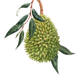 Watercolor durian tropical fruit illustrtion