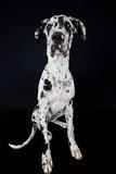 Gran Danes cachorro