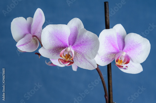 White Phalaenopsis orchid flowers with small pink dots, in full bloom on a dark blue simple background - 246678601