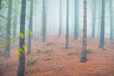 Nature landscape of foggy pine forest - 246683613