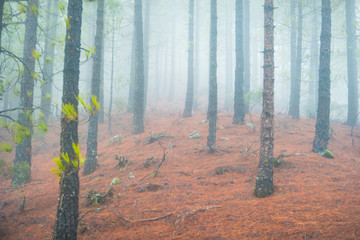 Nature landscape of foggy pine forest