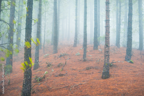 Nature landscape of foggy pine forest