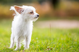 small white dog in the countryside