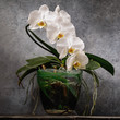 Blooming white orchid in a transparent pot. Beautiful indoor flowers