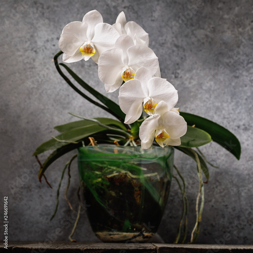 Blooming white orchid in a transparent pot. Beautiful indoor flowers - 246691642