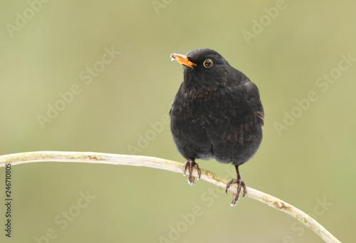 Leinwandbild Motiv Blackbird (Turdus merula)