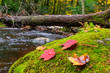 Colorful red maple leaves on a bed of green moss