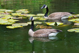 A pair of Canada Geese watch Coy Fish in a clear pond. - 246729607