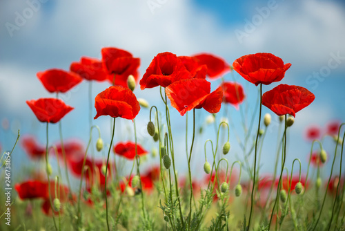 Flowers Red poppies blossom on wild field. Beautiful field red poppies with selective focus. soft light. Natural drugs. Glade of red poppies. Lonely poppy. Soft focus blur - Image - 246738854