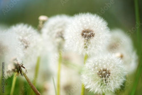 Beautiful white dandelion with seeds on green background - selective focus, space for text