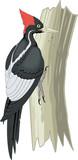 Ivory Billed Woodpecker on Tree Trunk Vector Illustration