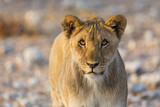 front view portrait of young lion in wildlife - 246783475