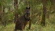 Alert Swamp wallaby (Wallabia bicolor) macropod marsupial from eastern Australia in wild bush setting stares directly at camera.