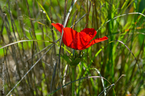 red anemone on the spring field.  - 246786059