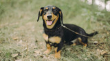 Portrait of smiling dachshund sitting on the grass. Happy dog with open mounth and tongue.