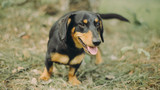 Smiling dachshund sitting on the grass. Happy dog with open mounth and tongue.