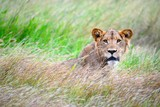 Young Male Lion in grasses