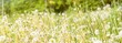 dandelion on background of green