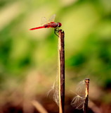 flame skimmer dragon fly with blur background view - 246819059