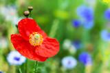 Rote Mohnblume auf einer Wiese mit Wildblumen, Papaver Rhoeas blühend