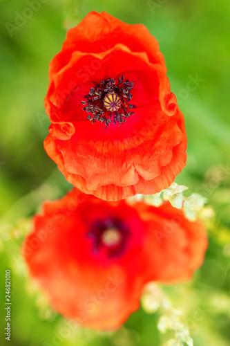 Hintergrund roter Klatschmohn oder wilder Mohn, zwei Mohnblüten vor grün - 246821010