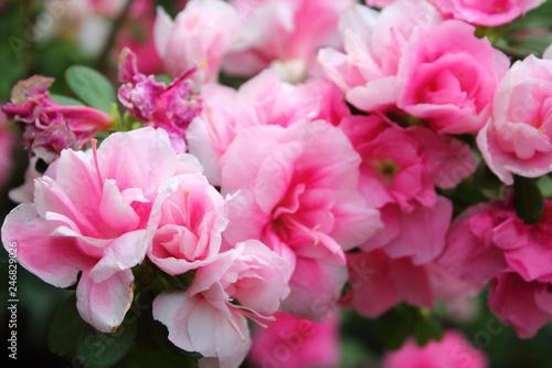 pink azaleas - 246829026