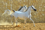 Two white purebred arabian mares running beside a stone wall. Horizontal,  side view. - 246896027