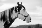In profile portrait of beautiful white and black horse with horse halter on, standing outdoors, a winter day at a ranch, sky in background - 246898679