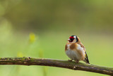 European goldfinch bird, Carduelis carduelis, perched in a tree