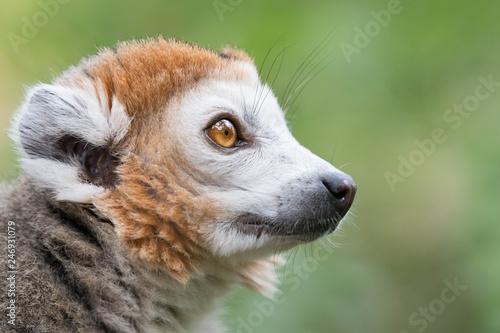 Lemur or Monkey closeup with big eyes