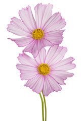 cosmos flowers isolated