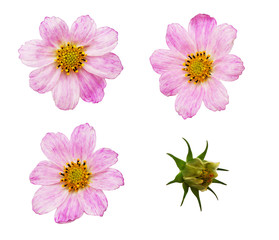 Set of pink cosmos flowers