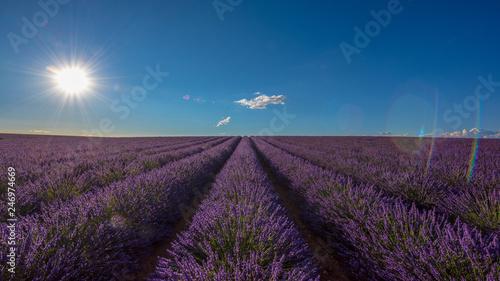 Lavender 29