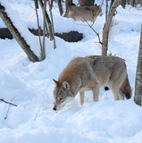 Wolves in the winter forest