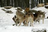Mackenzie-Wölfe (Canis lupus occidentalis), Captive, Deutschland, Europa