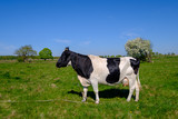 Cow grazes on a meadow at the summer - 246985887